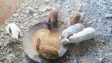 أرانب للبيع 0777033076