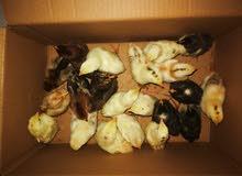 صيصان دجاج عماني بياض