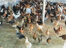 للبيع دجاج عماني لذبح او لتربية