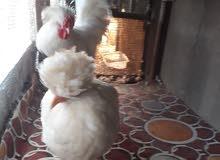 زوج سلطاني امايات ديج ودجاجه