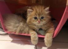 pure siberian kitten