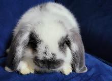lop pure rabbits netherland