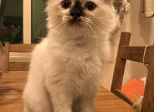 3 month old male ragdoll himalayan kitten for sale