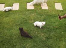 قطط صغيره شيرازي ميكيس هاف بيكي