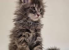 Maine Coon Kitten - Male