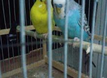 تبادل طيور
