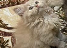 قطط للبيع 300ريال الواحد