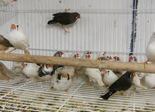 زبرة إنتاج البحرين