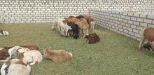 حوالا سودانية ذبح العمر 6 أشهور