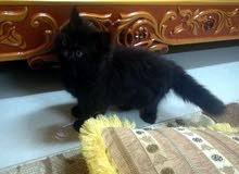 قطه شيرازيه للبيع