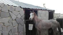 حصان عربي واهو مسجل 1750