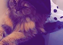 قطه شيرازية للبيع