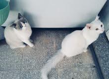 شيرازي و سيامي