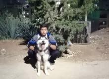 كلب ذكر هسكي مالموت بيور اصلي