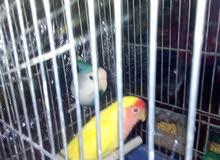 جوز روز الذكر اصفر الانثى ازرق مع قفص وكوخ على وجه بيض