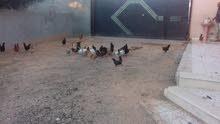 دجاج عربي 35 دجاجه