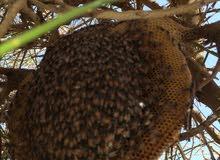 عسل الطلح الاصلي (عسل الشوكة) علاجي