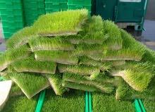 شعير مستنبت أخضر للبيع