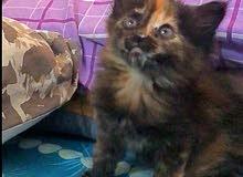قطة شيرازي عمره 45 يوم  45 cute persian kitten