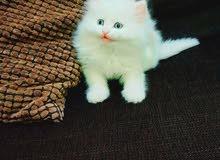 Persian Domestic Lh Kitten