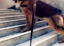 كلب جيرمين تقليب عالي