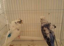 بيع طيور
