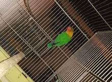 طيور جنة وفيشر