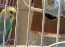 طيور الحب نوع ابادجي