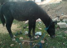 حصان قفز اصيل يبلغ عمر7 اشهر غيرمركوب وغذائه مركزونضيف