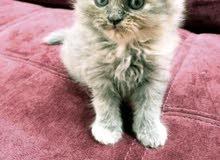 قطة شيرازية عمرها 70 يوم