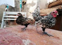 دجاج اسباني