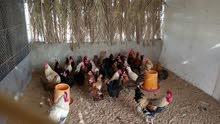 دجاج بلدي طازج فريش يوميا