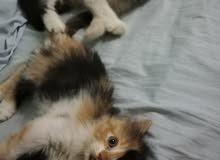 قطط هملاية مكس