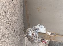 للبيع دجاج ودياكه عربي قديم فرق ماكنتوش وحمره
