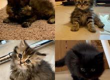 4 قطط شيرازي-مينكون للبيع   Four Persian-Maincoon cats for sale