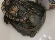 female turtle aged more than 5 years