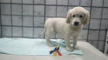 Golden retriever puppy male for sale