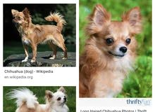 Any Long haired chihuahua available for breeding? حد عنده شيواوا شعر طويل تلقيح