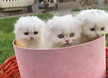 Scotish Fold Kittens
