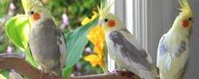 مطلوب كمية طيور كوكتيل جملة