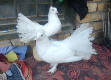زوج حمام عرايس اصليات للبيع او مراوس بنثيه كناري جاهزه