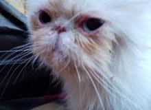 قطط هملايا بيور  ذكر وأنثى