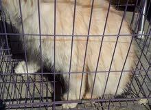 قطة شيرازية ب175 الف