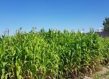 يوجد لدينا زرع -برومبو- السابة كبيرة 10 ريال 97790734