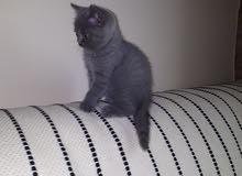 Scottish cats- قطط سكوتيتش