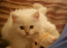 قطط شيرازي النوع عدد 2 بصحة جيدة العمر 3 شهور