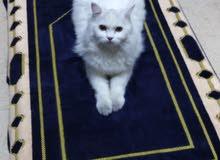 قطط شنشيلا