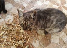 قطه اليفه ممتازه خليط عماني