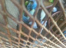 عصافير بقلينو بجميع الأنواع