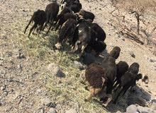 جعد للبيع 22راس أغلبهن يحدرن مطلوب 1350تهجين نجدي عماني